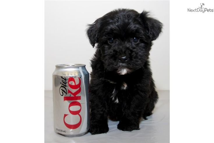 teacup yorkie poos for sale 17 best ideas about yorkie poo puppies on pinterest 4621