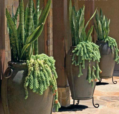 This photo is from my book, Designing with Succulents. Sansevierias underplanted with burro tail sedum.