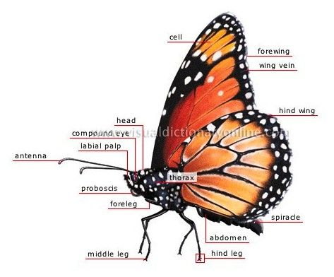 Parts of a Monarch butterfly