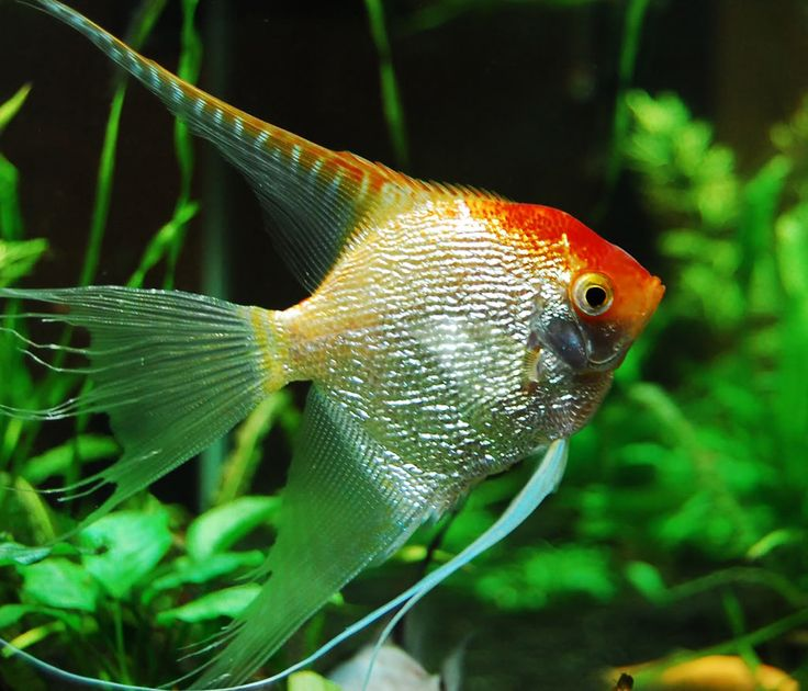veiltail angelfish - Google Search | Angelfish freshwater ...