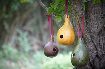 """Gourd-birdhouse:  Wash gourd in soap water remove dirt and mold; let dry. Saw or drill, cut a hole in the gourd's side 1"""" diameter. The size of the hole will determine which birds will """"rent"""" your house. Remove seeds and pulp, clean inside. Drill holes in the bottom for drainage. Add another pair of holes near the top of the gourd; thread ribbon through to hang your new birdhouse."""