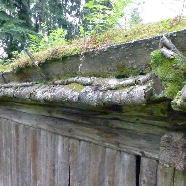 Viime viikolla tiirailtiin muutamaa esimerkkiä perinnekattojen kantavista rakenteista. Nyt juhannuspöhnien ja -sateiden myötä voidaan siirtää huomio niihin katonosiin, jotka pitivät petäjäisen kansan kuivina. Kuvassa turvekatto Seurasaaresta. Vasemmalla räystään päällä näkyvä osa eli limittäin ladotut tuohikerrokset olivat näiden kattojen vedenpitävä osa. Vaikka tuohi kestää kosteusrasitusta vuosikymmeniä, voi auringonpaiste ja ultraviolettisäteily haurastuttaa sen lyhyemmässä ajassa. Siksi…