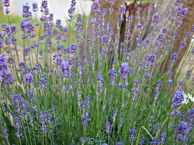 lavender in the yard will help repel fleas and mosques and it 39 s safe for the dogs dog yard. Black Bedroom Furniture Sets. Home Design Ideas