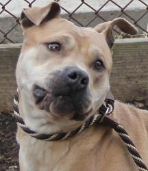 Bianca is an adoptable American Staffordshire Terrier Dog in Yonkers, NY. a wonderful 5 or 6 yr old dog who loves everyone..Kids ( 8 and up),cats,dogs...she is very athletic and loves to play ball and...