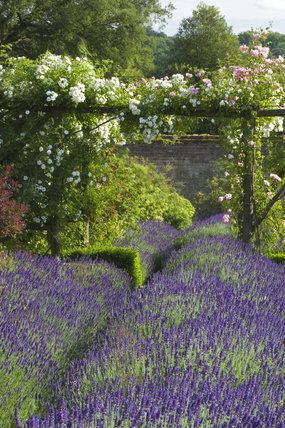 Beds of lavender with white roses climbing in the distance