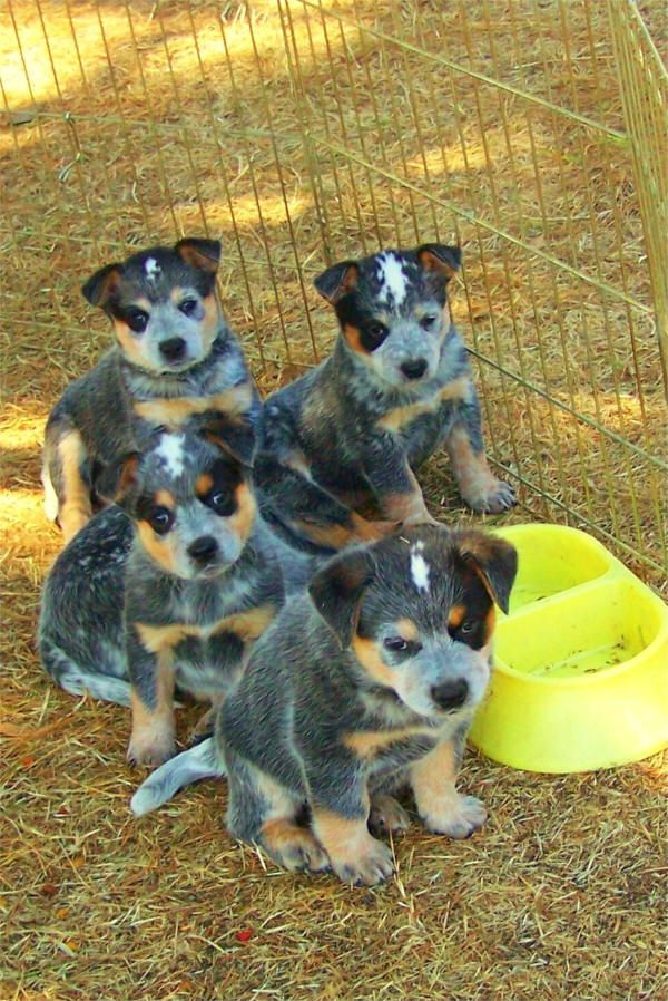 blue heeler puppies - Google Search