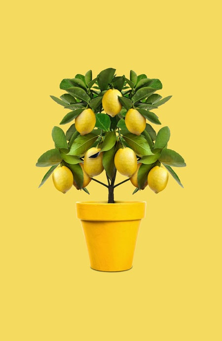 Luscious Lemon Tree #lemon #tree