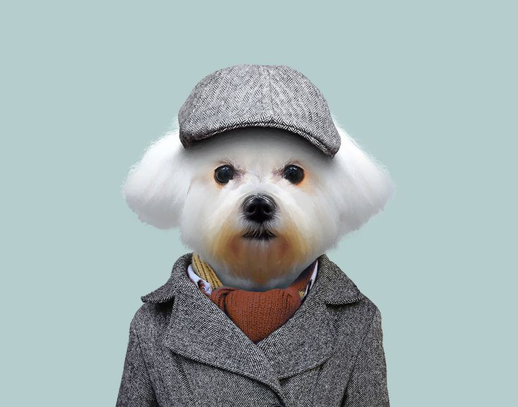 Maltese Dog - Canis Lupus Familiaris