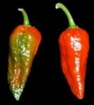 Chili Naga Morich , Tersedia Biji benih nya @ Rp 30.000/Pack @ 5 Seeds.  klik http://http://www.jocelynmart.com/naga-morich-chili  Order Hub : 081703100888