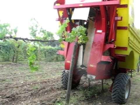 Harvest of Chardonnay in 2010 at Villa Acquaviva    Vendemmia Chardonnay 2010 a Villa Acquaviva