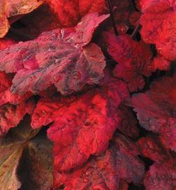 Heuchera Autumn Leaves Evergreen Perennial Plant