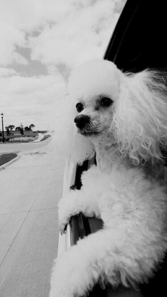 Prettiest poodle..