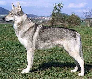 )Czechoslovakian Wolfdog) * * NEVER KNEW OF THIS BREED EITHER. NICE LOOKIN'.