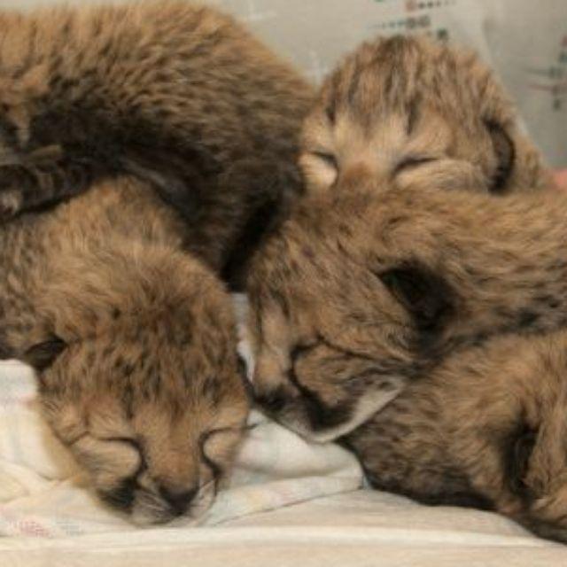 Five cheetah cubs born under what Cincinnati Zoo