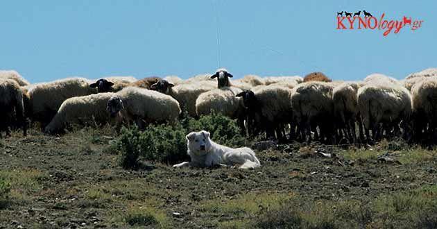 white Greek Shepherd and sheep
