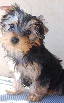 Yorkie Puppies San Diego
