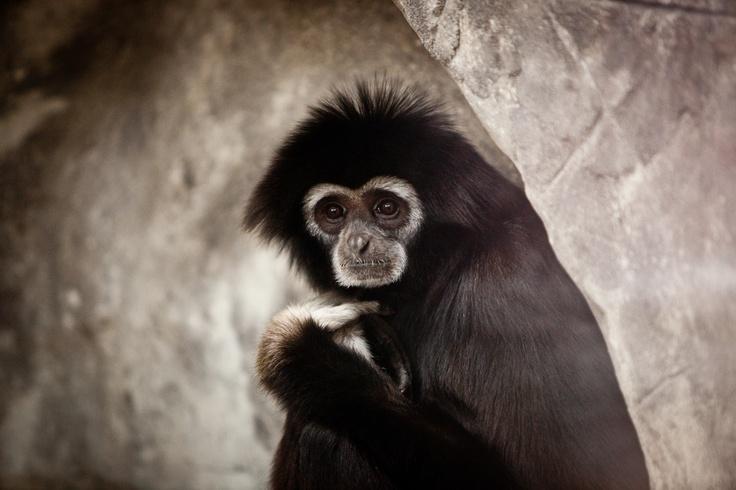 White handed gibbon, Leslie. Photo by Michael Henry.