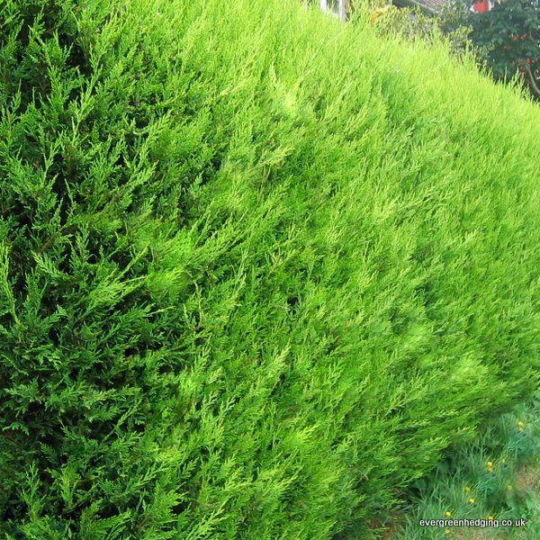Best 25 Leylandii Hedge Ideas On Pinterest Fast Growing Privacy Shrubs Fast Growing Hedge