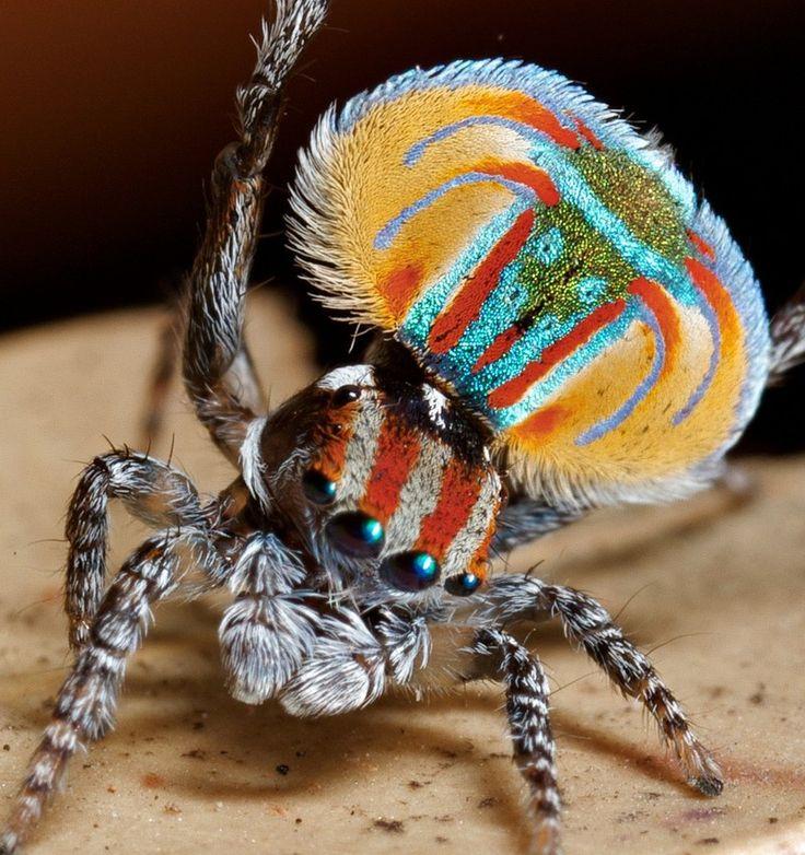 Il ragno pavone australiano. http://www.davverostrano.com/2015/03/il-ragno-pavone-video.html