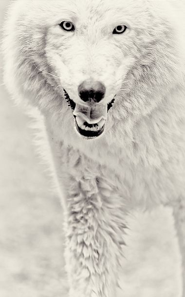 Will your children or grandchildren know how similar a wolf's smile can be to a human's? Artic wolf(Canis lupus).