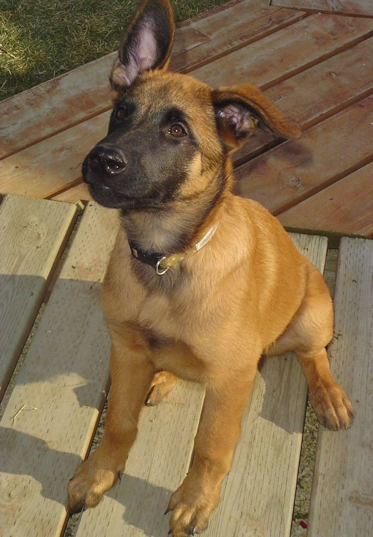 Belgian Malinois Puppy :) this is the puppy I think Jeff should get!!!!! So happy I know what they are called now!!!