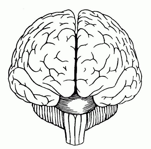 Brain Drawing Front View Diagram Pinterest Drawings