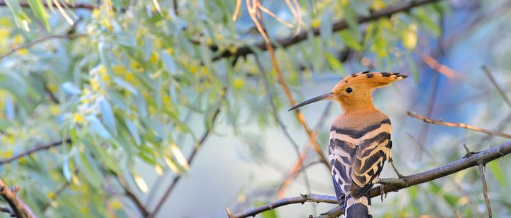 Hoopoes nest in Casa Flor de Sal and can be seen most of the year scavenging for worms. Casa Flor de Sal: high quality self-catering holiday houses. Ria Formosa Natural Park Algarve.