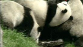 Endangered Animals Panda Information Animals Giff #5151 - Funny Panda Giffs  Funny Giffs  Panda Giffs