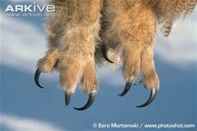 Owls Talons - Yahoo Search Results Yahoo Image Search Results