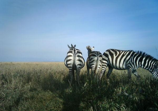 Pregnant zebra.