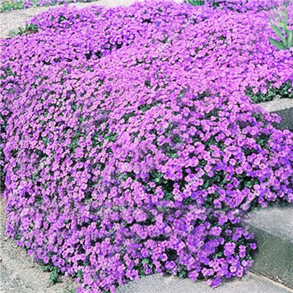 Creeping Thyme Ground Cover Seeds Thymus Serpyllum Magic Etsy Flower Seeds Ground Cover Seeds Flowers Perennials
