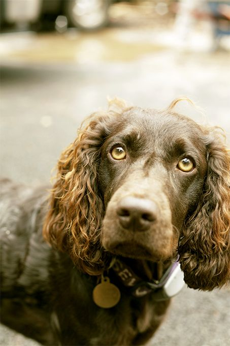 Boykin Spaniel Dog Breed Picture