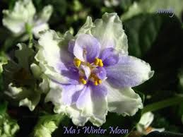 Ma's Winter Moon African Violet