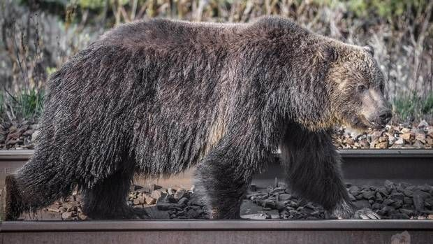 Human activities are causing a decline in grizzly bear populations. Study data show human activities and land development in Elk Valley overwhelmingly the cause of uptick in animal's mortality rate