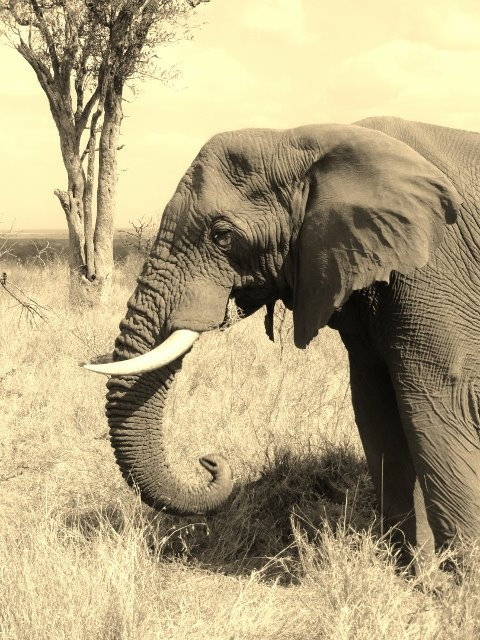Elephant, Swaziland (Natasha)