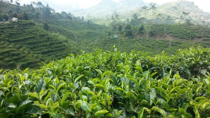 Another kebun teh
