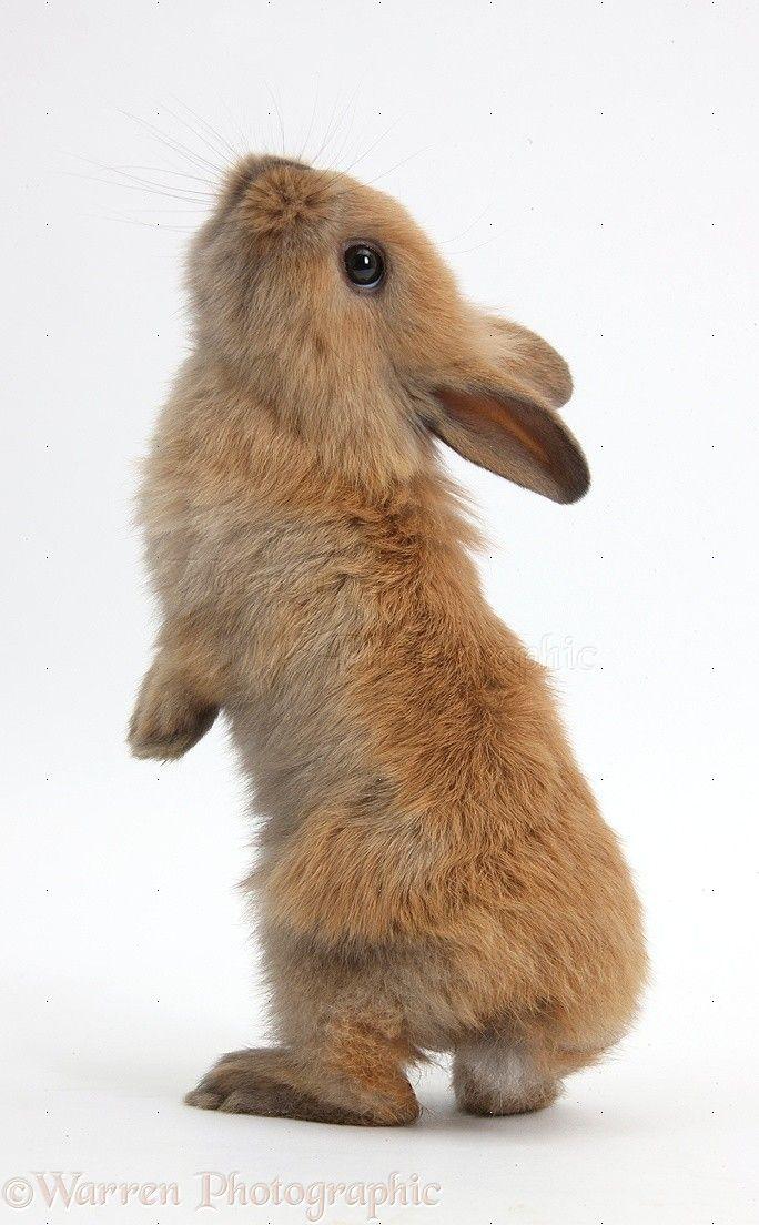 Baby Lionhead x Lop rabbit, standing photo - WP38940