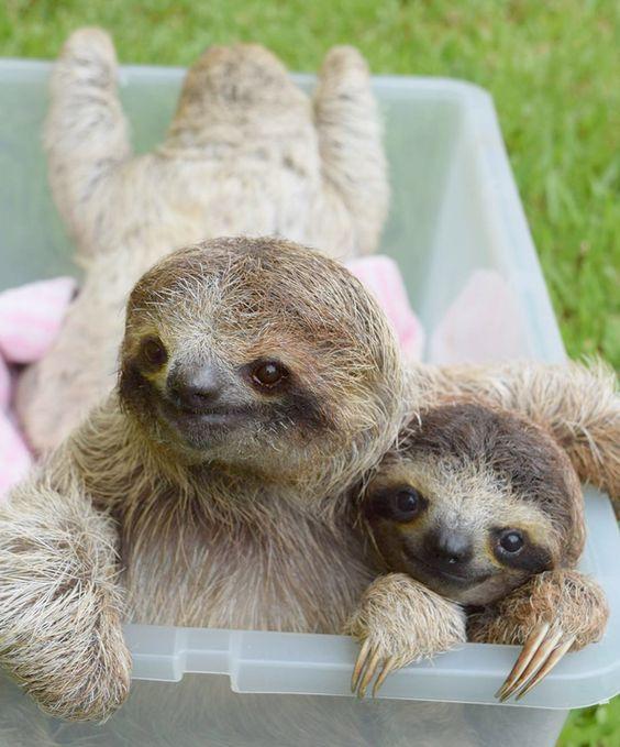 Yavru Tembel hayvanlar (Sloth)
