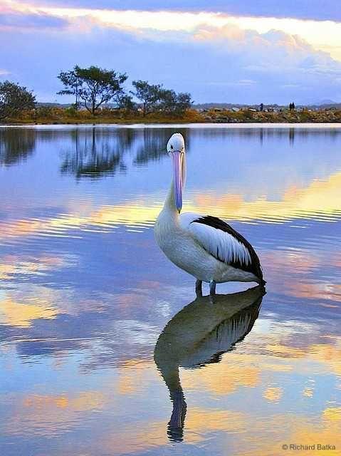 Pelican, Nambucca Heads, Australia