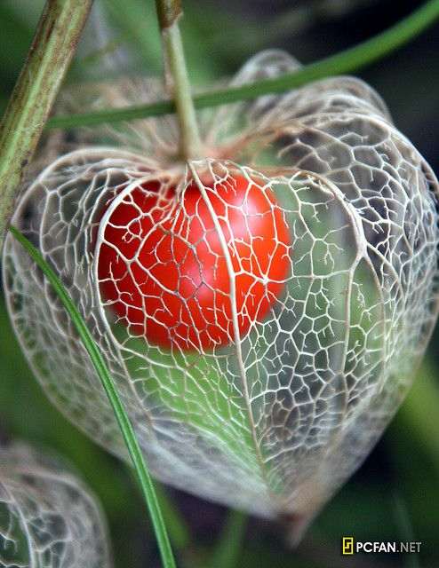 Chinese lantern plant... skeleton with fruit. Beautiful fun to have in Fall garden.  Caution:  these plants spread quickly so recommend trying to contain them.