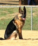 Picture of one of our towns Police Dogs...I appreciate our working dogs!! (This comes from a proud German Shepherd mama)