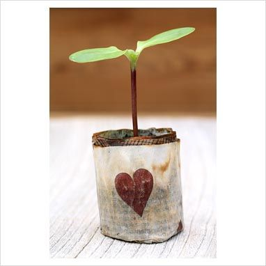 Helianthus 'Giant Single' - Sunflower seedling in recycled and biodegradable newspaper pot