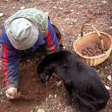 La trufa aumenta su terreno en Cuenca http://www.abc.es/toledo/ciudad/20140203/abci-trufa-aumenta-terreno-cuenca-201401311915.html
