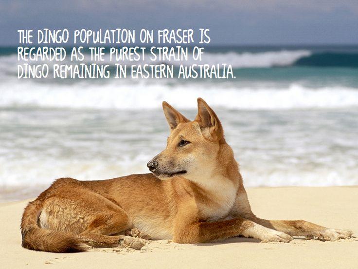 Dingo (native dog) Fraser Island - Australia