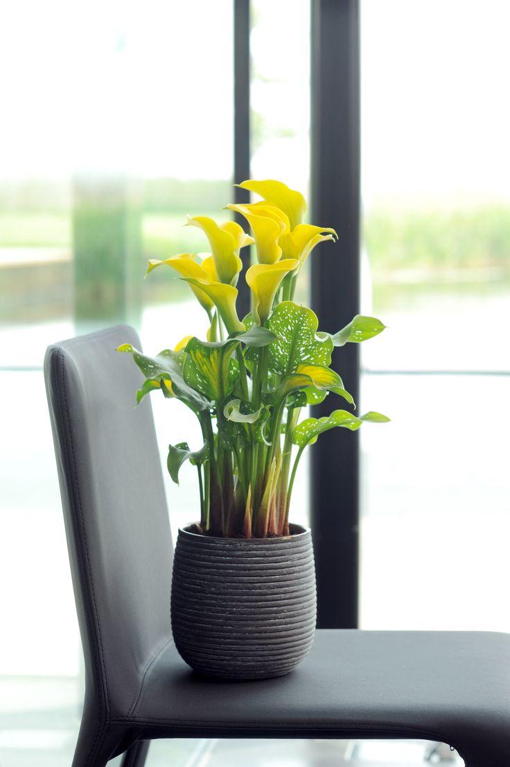 Elegant wie immer! #pflanzenfreude #calla #pflanze