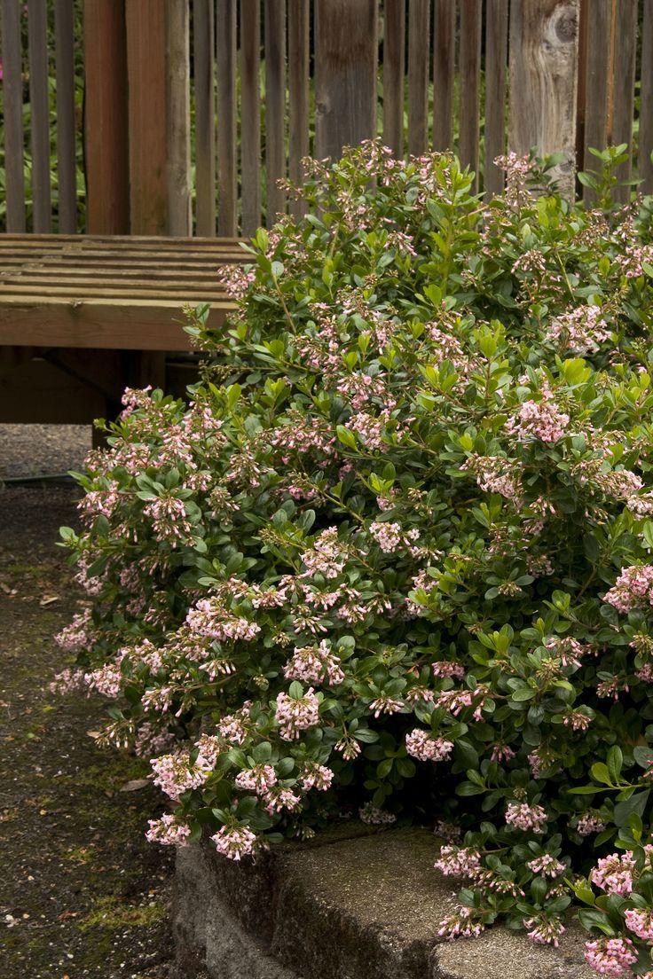 Garden Bush: Pink Princess Escallonia. 5-6' Tall & Wide, Great