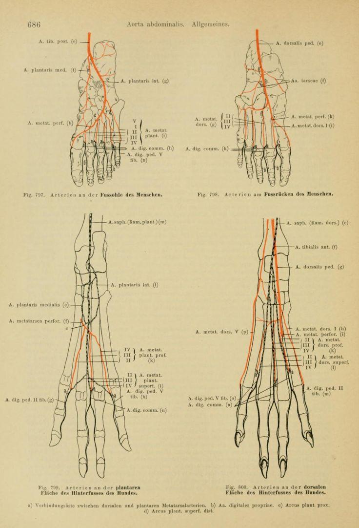 Mejores 89 imágenes de comparative Anatomy en Pinterest   Anatomía ...