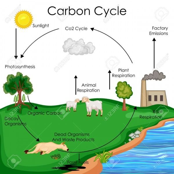 Carbon Cycle Diagram Carbon Cycle Plant Science Biology