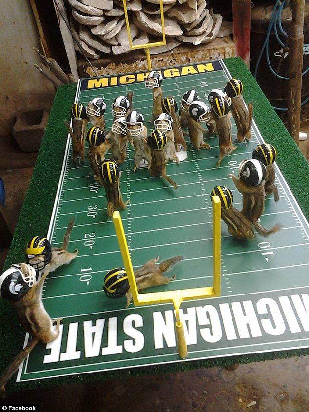 A full-field view of the MSU vs. UM chipmunk football game that taxidermist Nick Saade has...