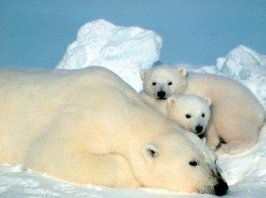Niedżwiedzie polarne są tylko na Arktyce